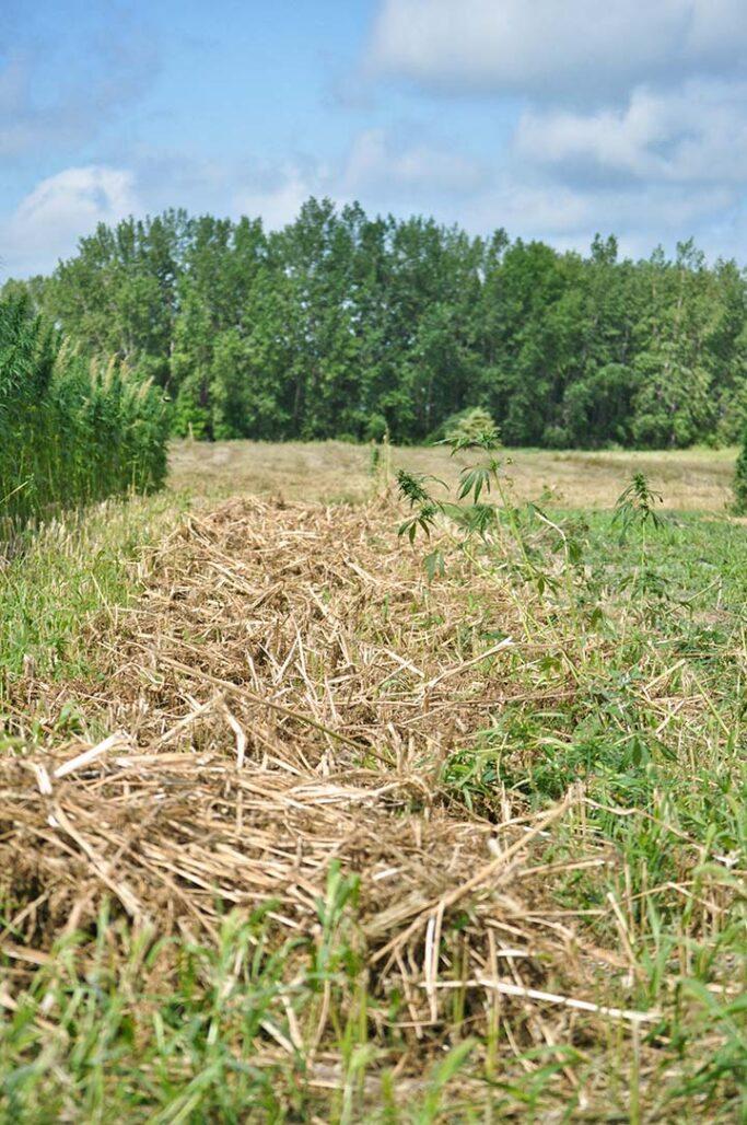 hemp windrow