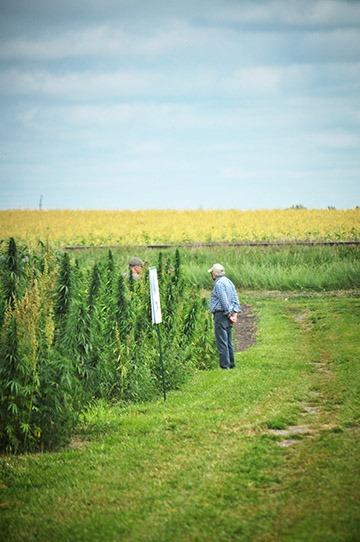 Men in hemp field